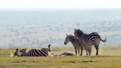 Zebras having a dust bath