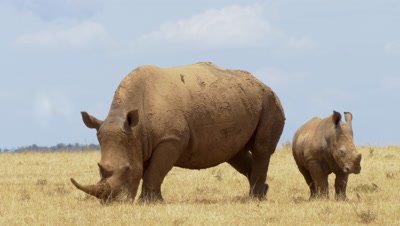White rhino with baby,eating gras