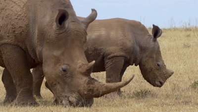 White rhinos with baby eating gras, close up