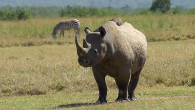 Black rhino moves alarmed,zebra in the background