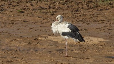 Stork standing on one leg,bill in his feathers