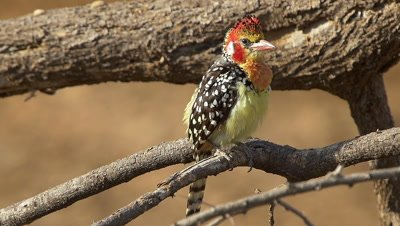 Red and yellow barbet sitting on a branch,showing his beautiful feathers,slow motion 96fps