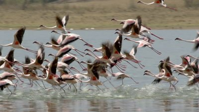 A flock of flamingos,starting to fly,pan with them right to left,slow motion 96fps