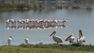 Pelicans cleaning their feathers and a flock of flamingos in the background,slow motion 96fps