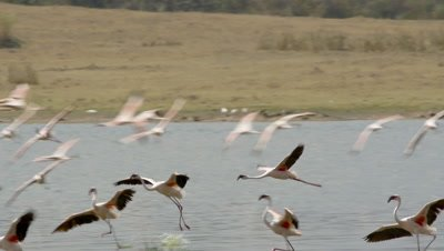 Flock of flamingos,landing in the shallow water,slow motion 96fps