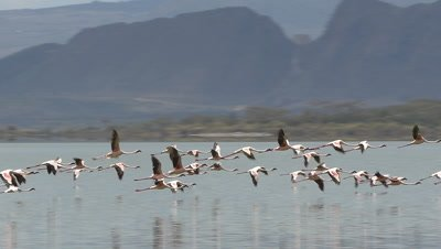Pan with a flock of flamingos,flying over Lake Elementaita,slow motion 96fps