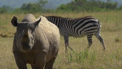 Black rhino and zebra looking at camera,heat blurs,slow motion 96fpos