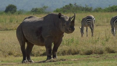 Black rhino shaking off the flies, slow motion 96fps