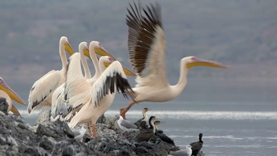 Flock of pelicans sitting on a rock,one after the other starting to fly,slow-motion 96fps