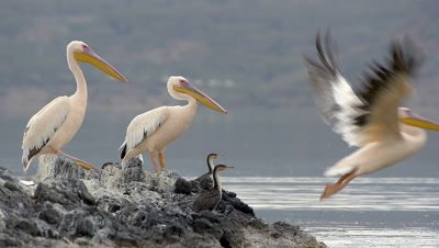 Pelicans sitting on a rock and start to fly,slow-motion 96fps