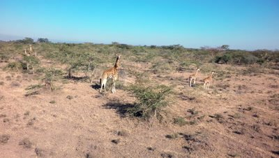 Aerial of giraffe with juveniles eating in savanna