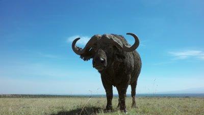 African buffalo stares at camera