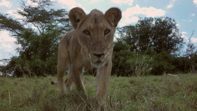 Lion checking out remote car with camera