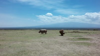 Two white rhinos in front of Mount Kenia,aerial move