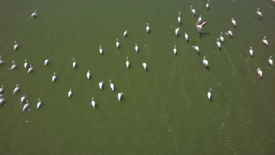 Flock of flamingos in an african lake,vertical aerial