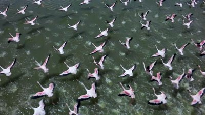 Flock of flamingos staring to fly from a lake,slow motion 100 fps