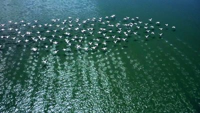 Flock of flamingos starting to fly from a lake,slow motion 100 fps aerial,( timebase is 25fps,you can apply slomo in player )