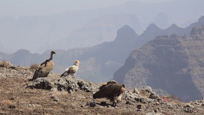 Egyptian vultures and Gyps ruepelli gather around,Egyptian flies off,4K