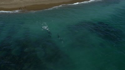Pod of Orcas swimming away from sea lion beach to attack channel,4K Aerial move