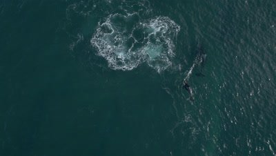 Orca catches released sea lion pup,and tosses around ,4K Aerial