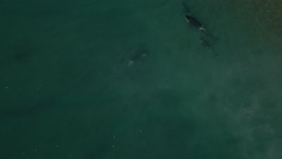 Pod of 4 Orcas turning away from beach,4K Aerial move