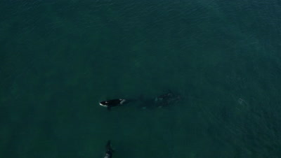 Pod of 5 Orcas swimming,one is carrying captured sealion pup in the mouth,4K Aerial move