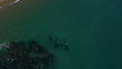 Pod of Orcas swimming away from beach and turning around,4K Aerial move