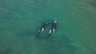 Pod of Orcas approaching sealions in the shallow water,4K Aerial