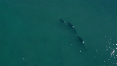 Pod of 4 Orcas cruising through the shallow water,4K Aerial move