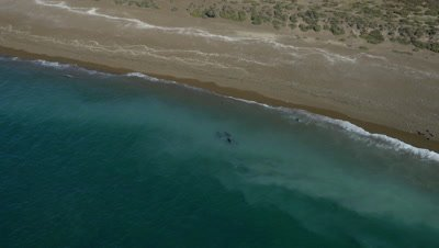 pod of Orcas approaching sealions in the shallow water,fake attack,turn away and leave again,4K Aerial