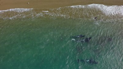 Pod of Orcas attack and capture sealion pup in the shallow water,4K Aerial