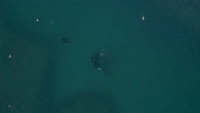 Pod of Orcas sharing the catch of captured sea lion pup,Aerial slow motion