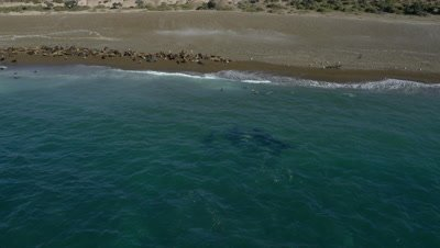 pod of Orcas approaching sea lions in the shallow water,4K Aerial move in