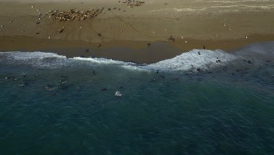 Sea lion pups playing and swimming in the surf,4K Aerial