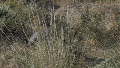 Armadillo walking through grassland,slow motion 96fps