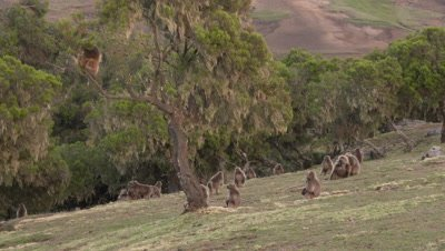 Gelada male shaking a tree,herd sitting below,4K