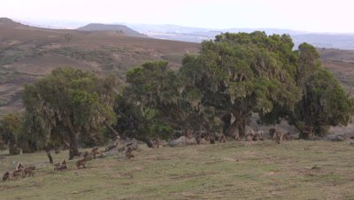 Gelada herd,distant wide shot,males running and fighting
