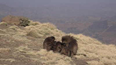 Gelada Baboon family on cliff, male standing up and walking away