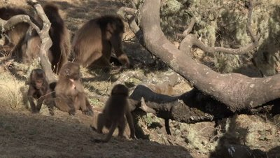 Gelada Baboon kids are climbing up a tree and play