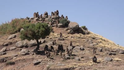 Gelada Baboon herd is sitting on top of a hill