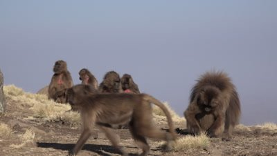 Gelada Baboon family eating and resting in the morning light