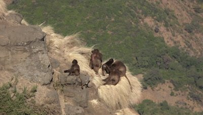 Gelada Baboon family sitting on cliff, looking up alarmed