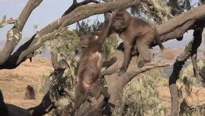 Gelada Baboon kids playing on tree