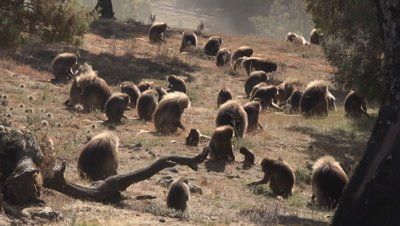 Gelada Baboon herd backlit, bachelors are chasing each other