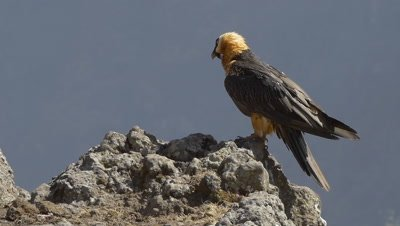 Bearded vulture and griffon vulture landing, slow motion