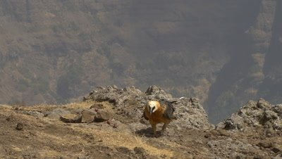 Bearded vulture takes bone, tries to swallow and takes off