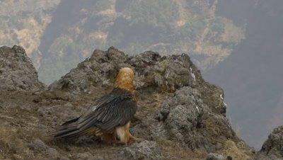 Two bearded vulture swallowing bones