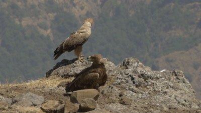 Two ethiopian eagles sitting on rocks, slow motion