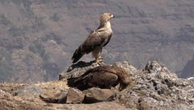 Three Ethiopian eagles, one is landing, slow motion