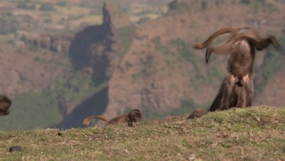 Gelada baboon kids play on the edge of the cliff, UHD 50fps